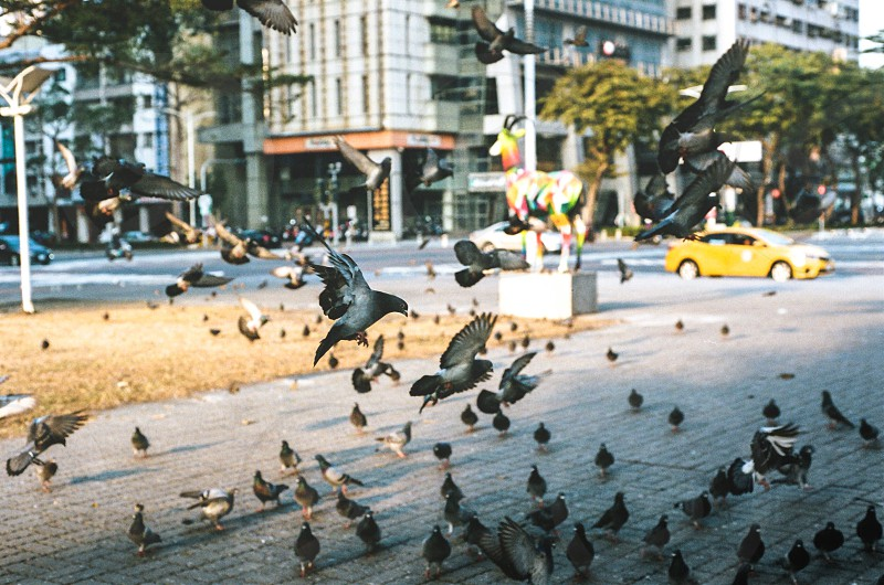 flock of pigeons landing on grey pavement photo