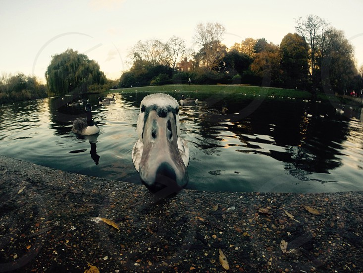 Selfie duck on Regent's Park-London photo