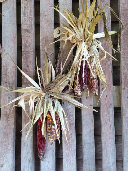 Dried corn photo