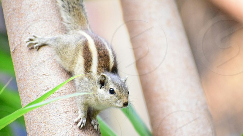 Indian Palm Squirrel. Despite living in Mumbai our locality being a well wooded area you can often see these tiny critters dashing around photo