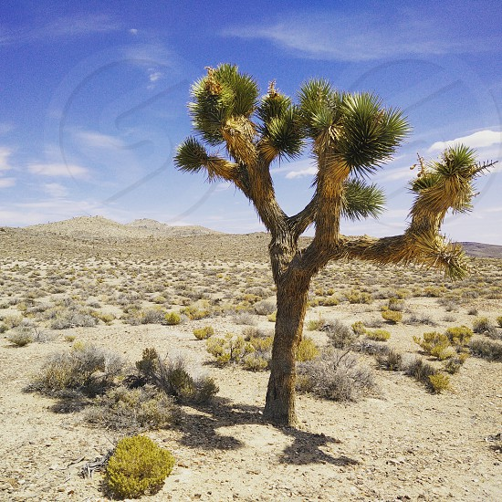 Joshua Tree in Death Valley National Park California USA photo