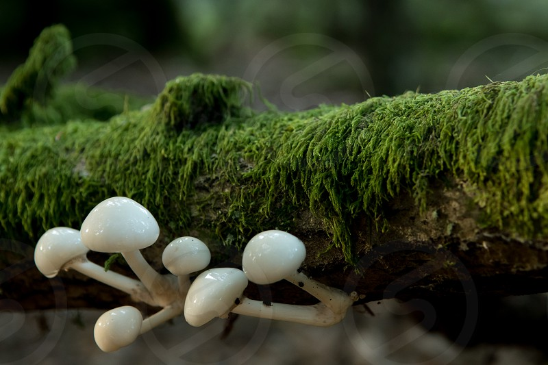 Porcelain fungus growing on fallen and moss covered branch is illuminated by late afternoon sunlight photo
