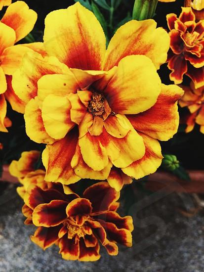 yellow flower plant photo