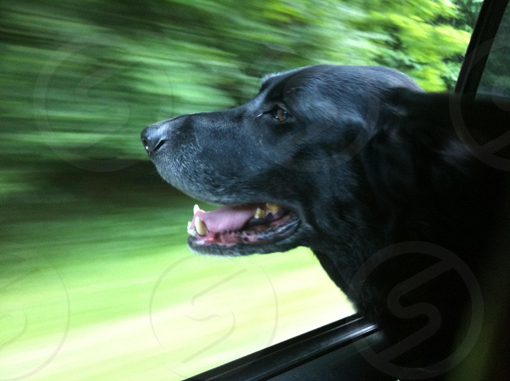 dog Labrador lab black lab older white face grey hair car ride motion window travel photo