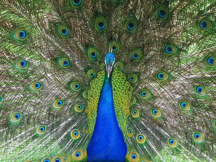 blue peacock  portrait photo