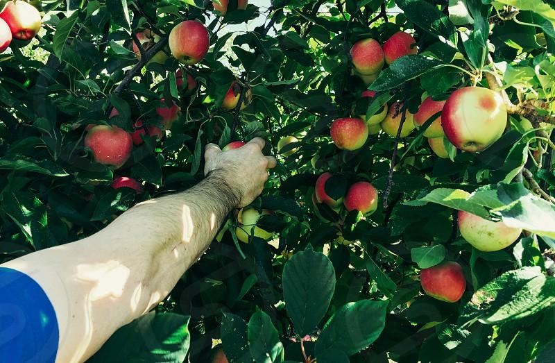 Apple apples Apple picking arm fruit ripe leaves tree leisure agriculture farm orchard photo