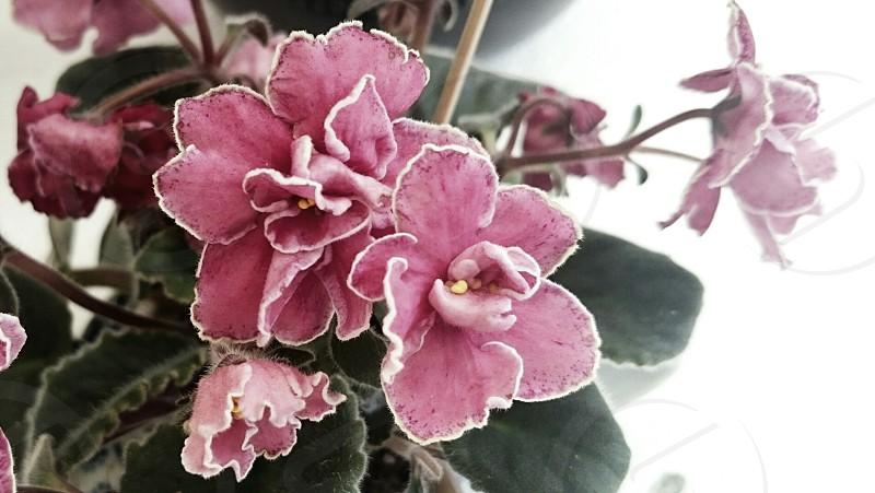 Flower in pink breath in Spring! photo