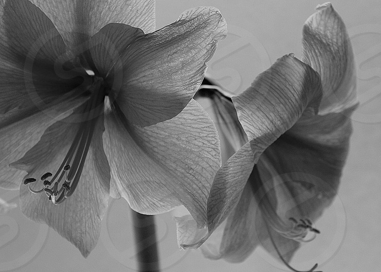 greyscale photography of amaryllises inside well lighted room photo