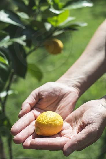 Young lemon tree and fruit. Hand hold freshl lemon photo