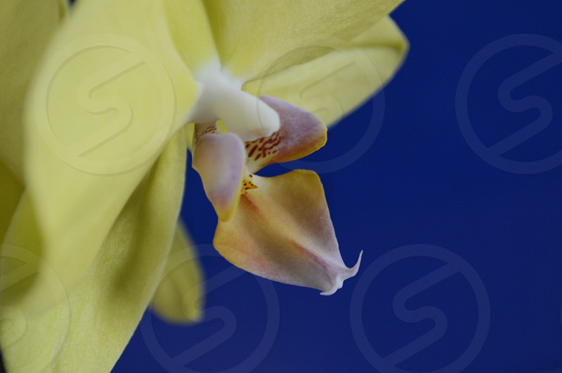 flowers orchid blue yellow spring colors photo