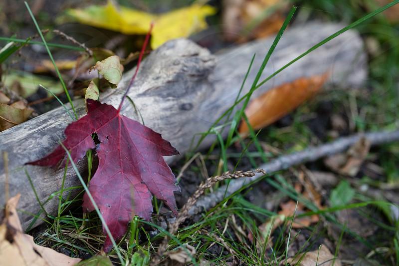 fall red leaf leaf and stick fall foliage photo