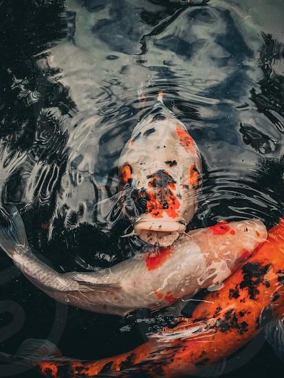 Friendly koi Animalsnatureoutdoorscolorslandscapephotography  photo