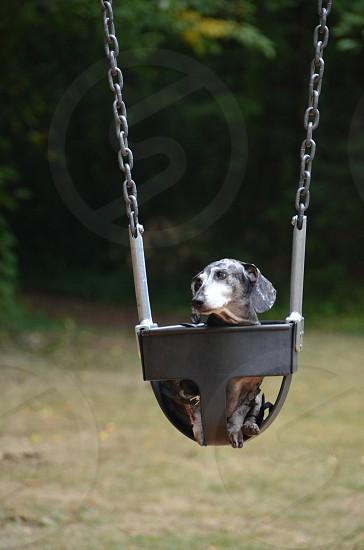 Dachshund in swing photo