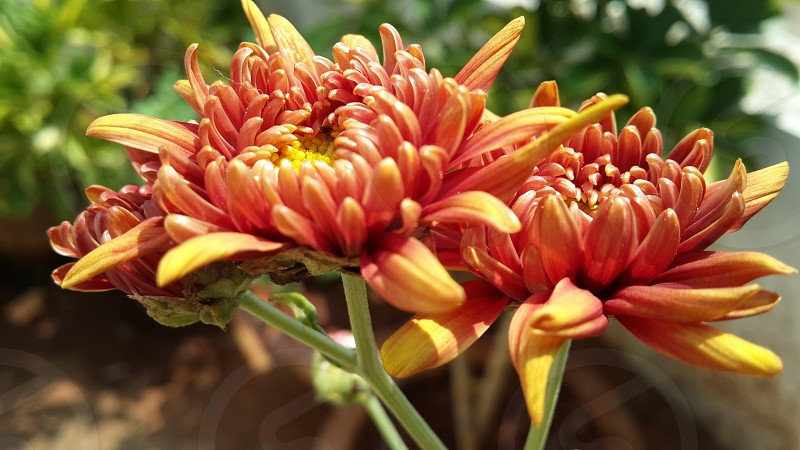 Orange Aster flowers home-terrace garden photo