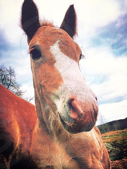 horse foal blaze mule nostril nose equestrian cute animal farm  photo