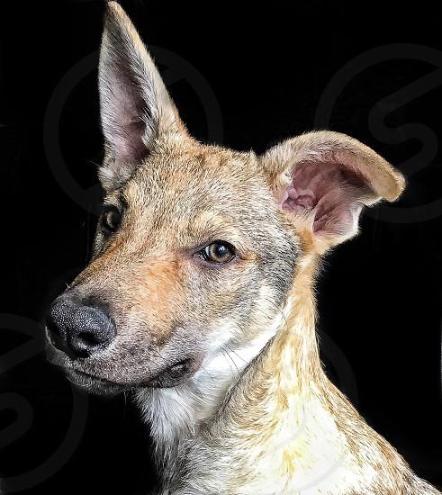 Czechoslovakian Wolfdog  photo