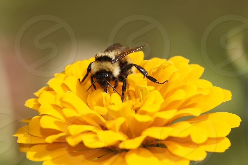 Bumblebee on zinnia photo