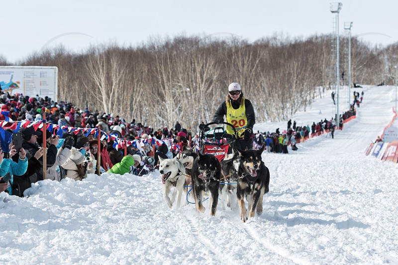 PETROPAVLOVSK-KAMCHATSKY KAMCHATKA RUSSIA - MARCH 2 2014: Running dog sled team Kamchatka musher Anastasia Semashkina. Kamchatka Sled Dog Race Beringia. Race-prologue distance of 10 kilometers. photo