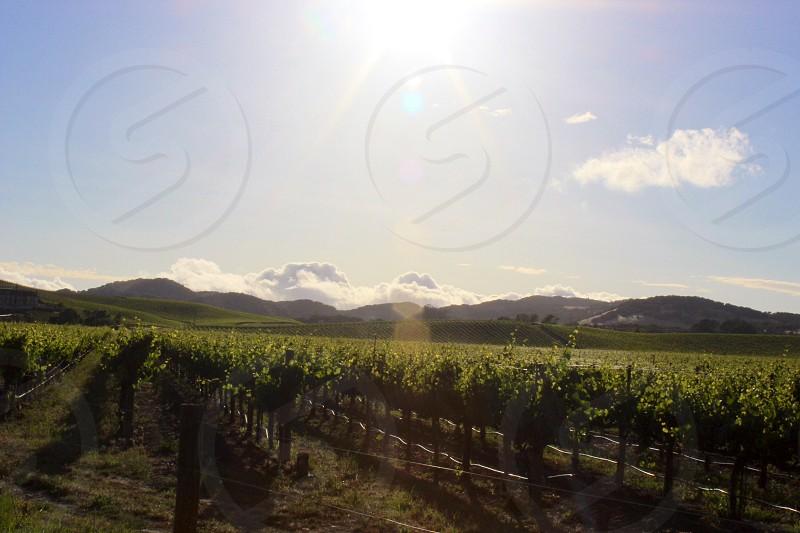 Sonoma Vineyard photo