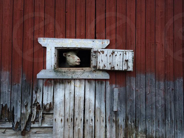 lamb peeking from a window photo
