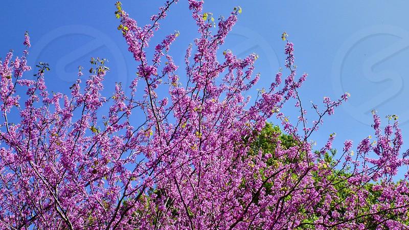Beautiful pink flowers on a tree. Israel. photo