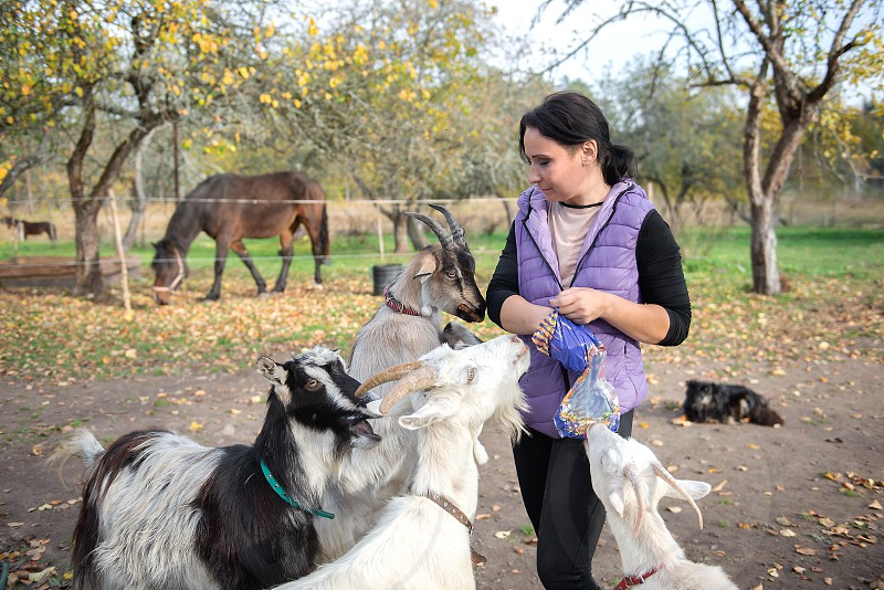 A farmer woman feeds goats with bread photo