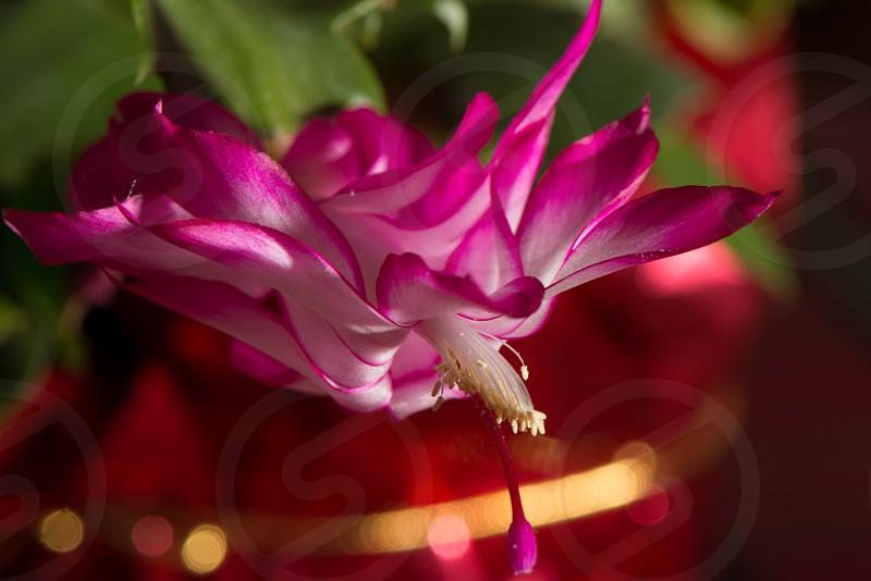 Cactus bloom flower photo