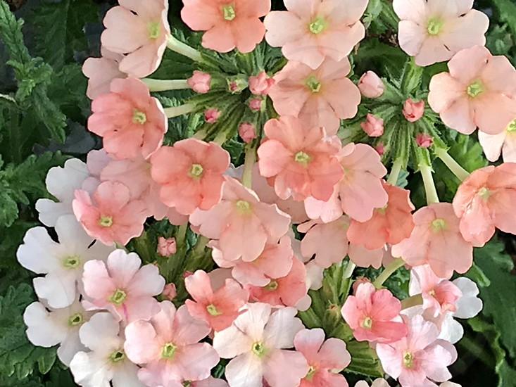Peach Verbena photo