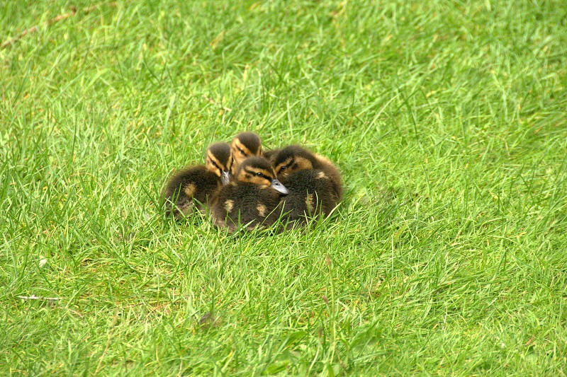 Cute ducklings enjoying the spring sunshine. photo