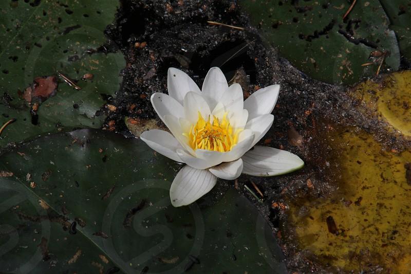 White waterlily  photo