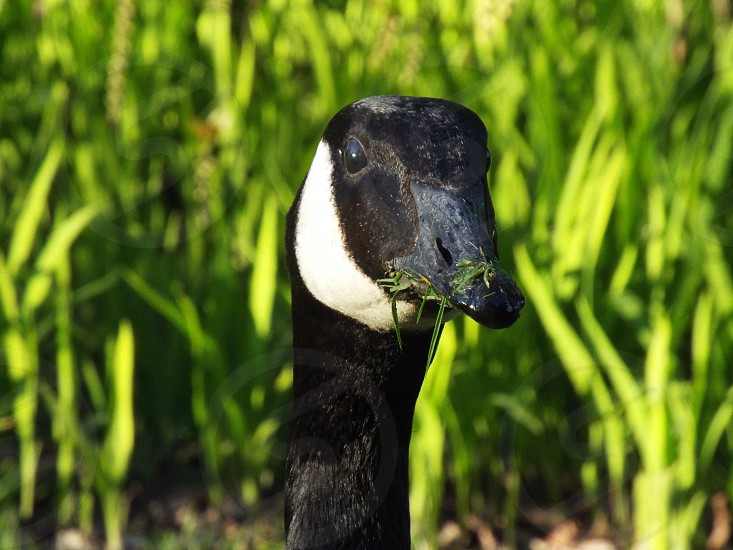 Canadian goose head up close looking forward with side facial shot eating grass. photo