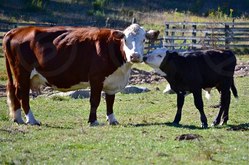 Kissing Cows Wyoming Pennsylvania photo