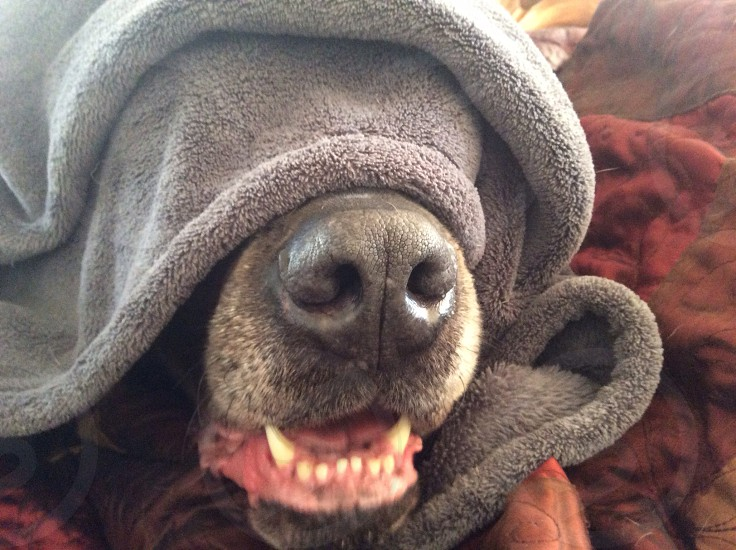 dog with face covered by grey fleece blanket photo