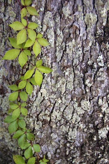 green plant leaves on white tree trunk photo