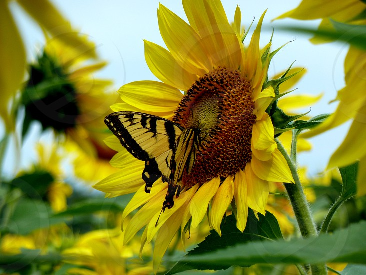Sunflower butterfly nature flower photo
