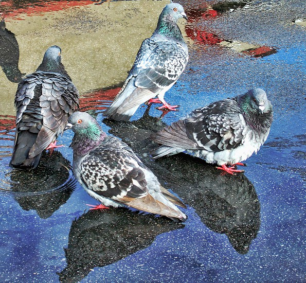 Four pigeons stand in a circle in a puddle on the street. photo