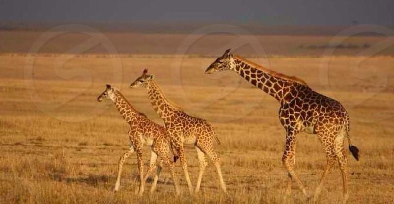 Giraffes three mammals animals Safari Africa near Tanzanian border grassland incredible  photo