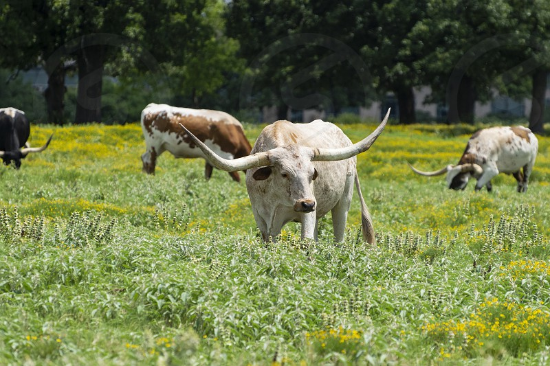 A large white Longhorn bull cow with long curved horns standing in a ranch pasture full of green grass and some yellow flowers while other cattle graze in the background. photo