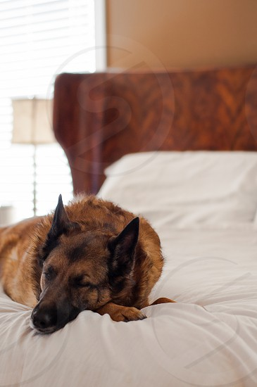 BEDS & NAP TIME   Heidi our Belgian Malinois/Shepherd snoozing away on our bed her favorite place to rest. photo