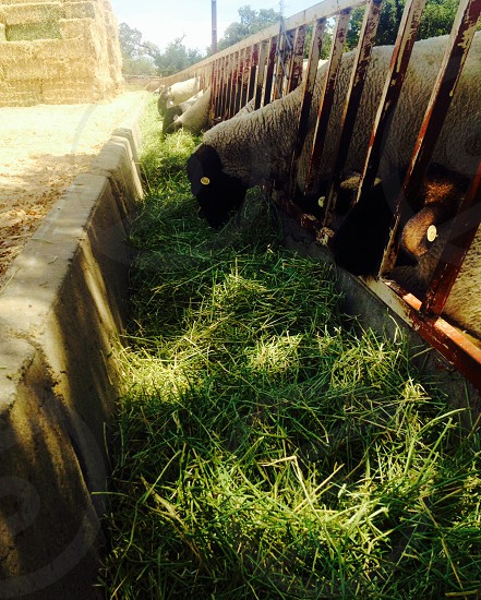 Sheep hay farm life ranching photo
