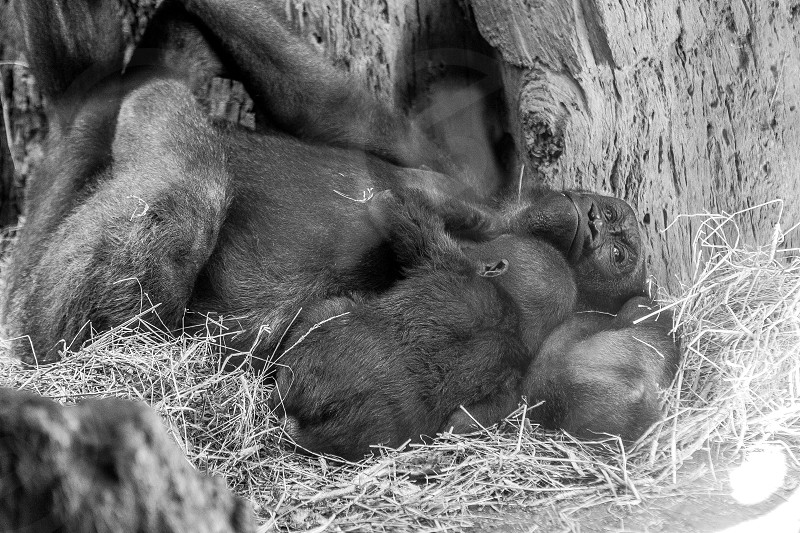 grayscale photo of adult monkey with cub photo