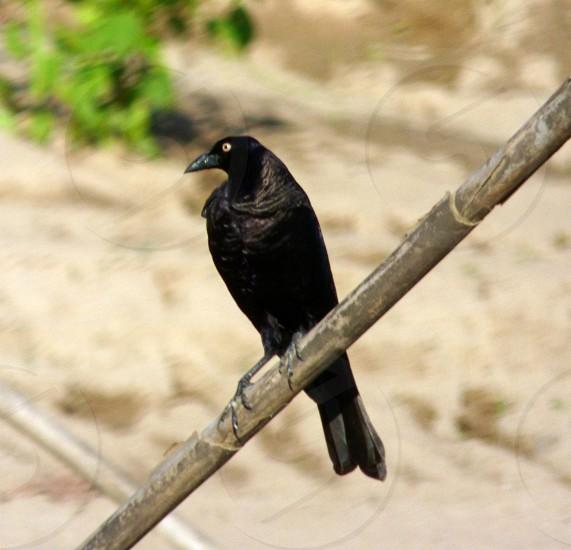 Oxpecker Bird photo