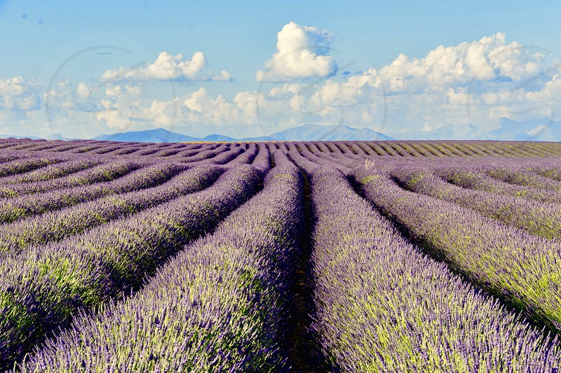 lavender france provence field travel nature scenic view horizon purple scent destination countryside Valensole flowers spring colorful photo