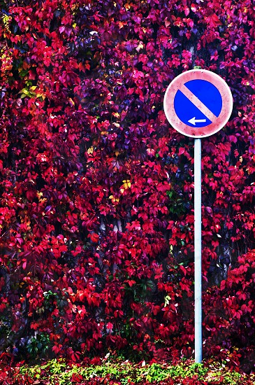 autumn in the city autumnal painted wild vine with traffic sign photo