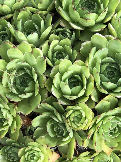 Succulentsucculentshens and chickensbackdropbackgroundcacticactus  photo
