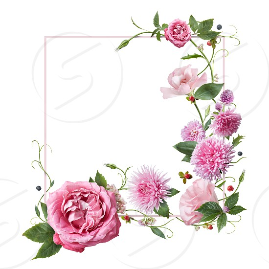 frame with pink flowers leaves and petals isolated on white background. top view flat lay photo