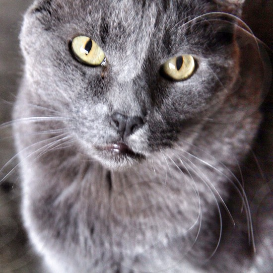 gray tabby cat with yellow eyes photo