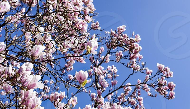 Magnolia in full power photo