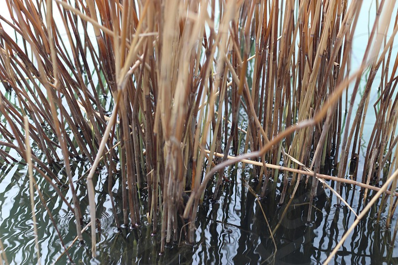 brown grasses on water close up photo photo