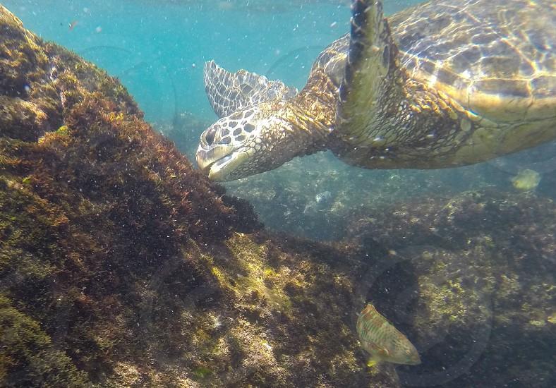 Maui turtle photo